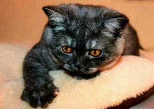 British Scottish Kittens